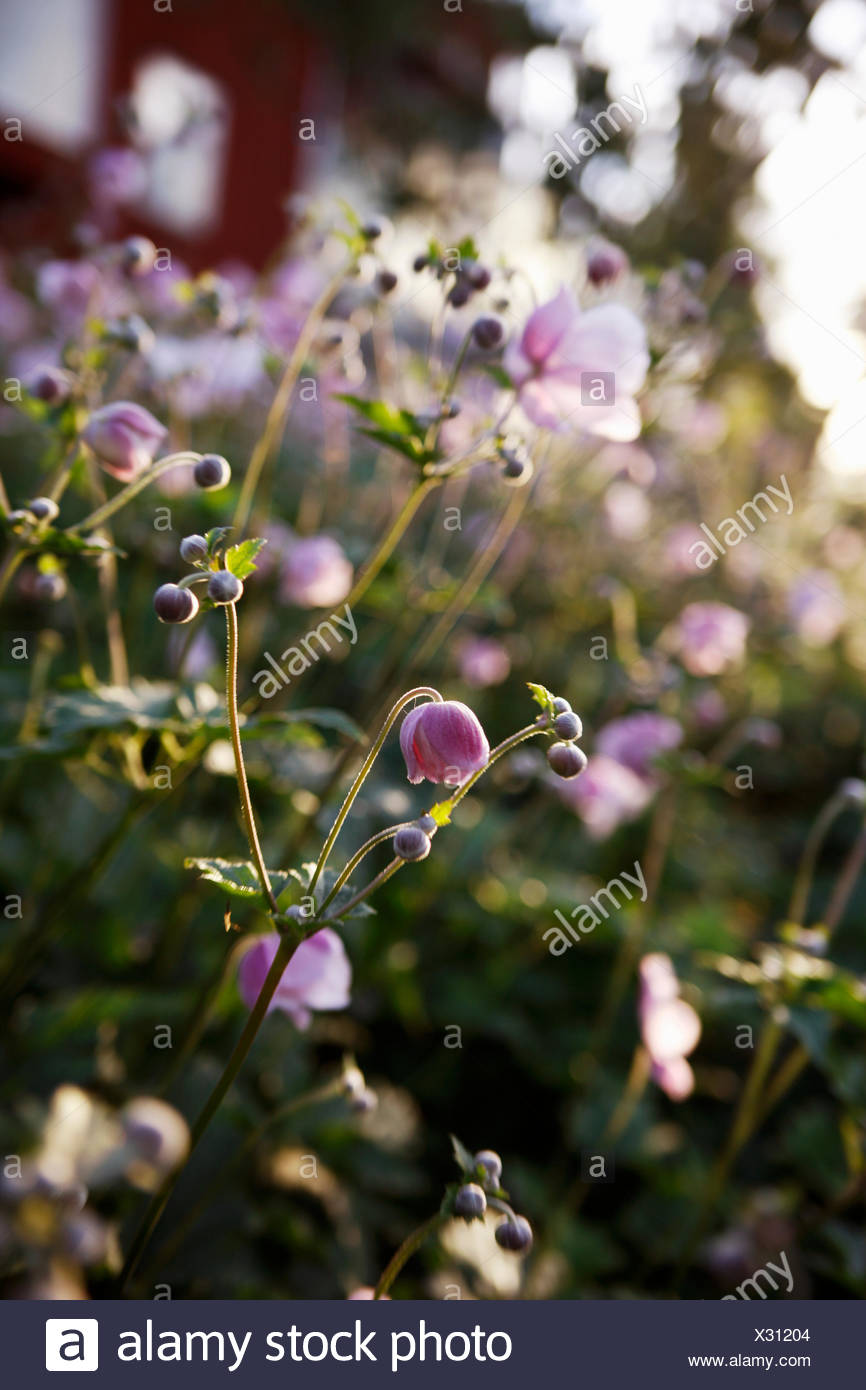 Chinese Anemone in a garden, Sweden. - Stock Image
