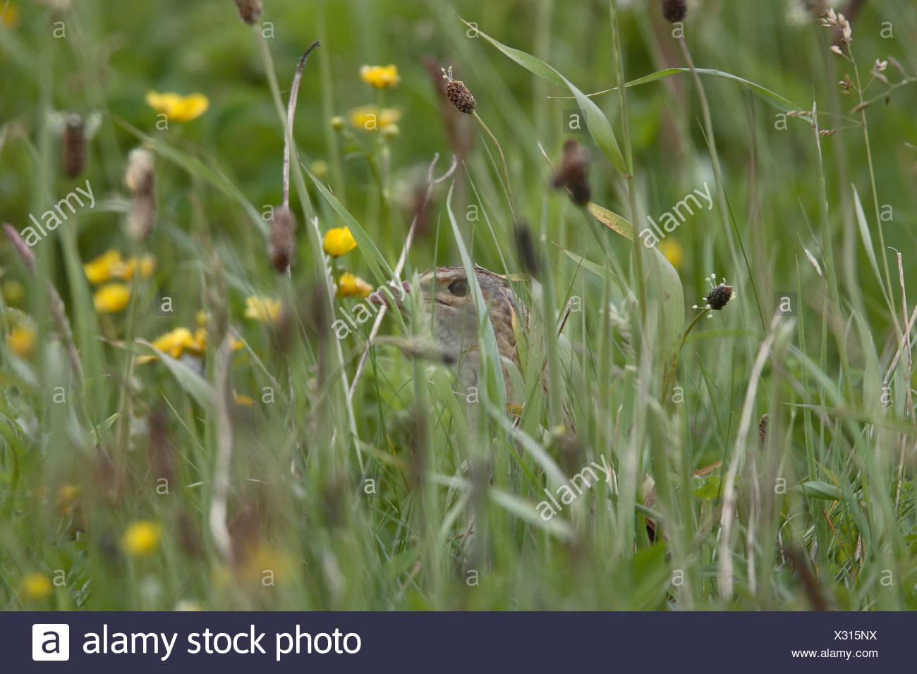Corncrake- a most elusive species. Barra, Outer Hebrides, Scotland. - Stock Image