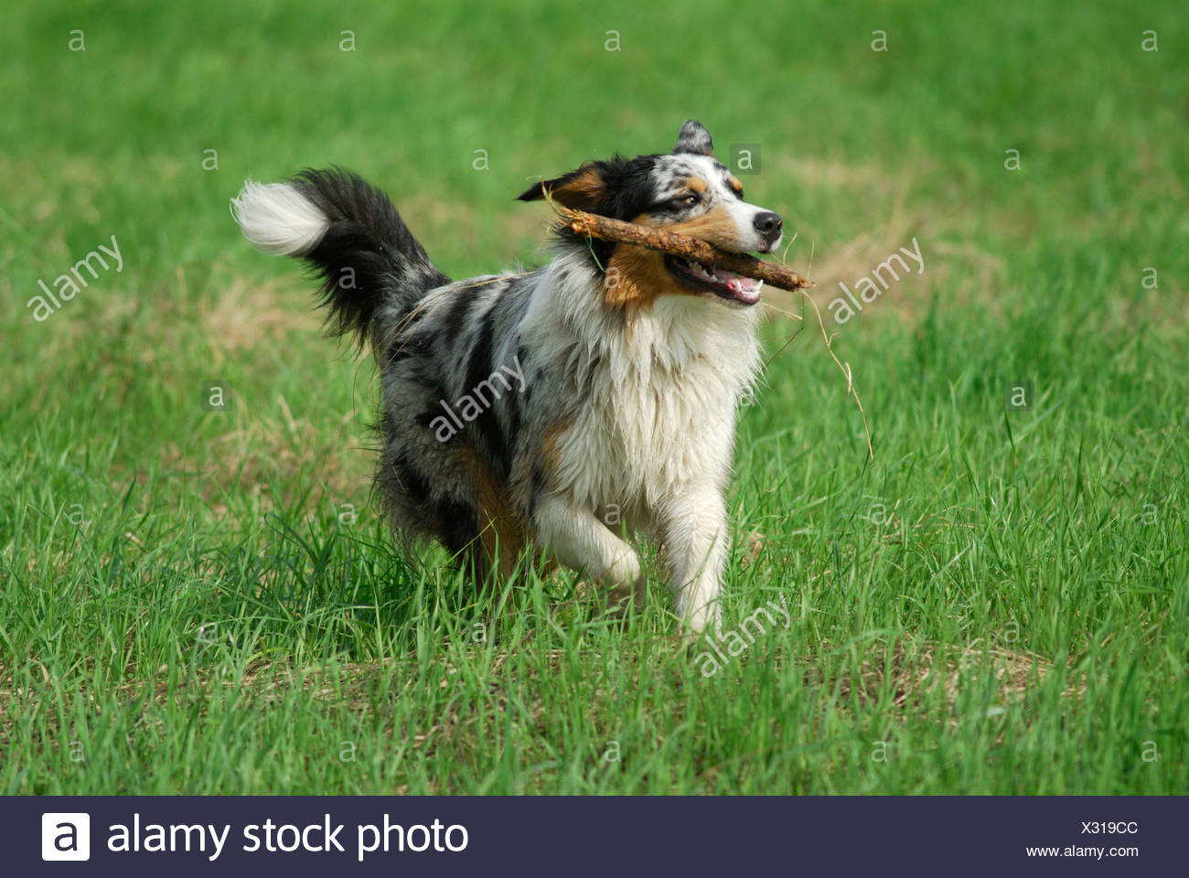 Border Collie fetching a stick - Stock Image