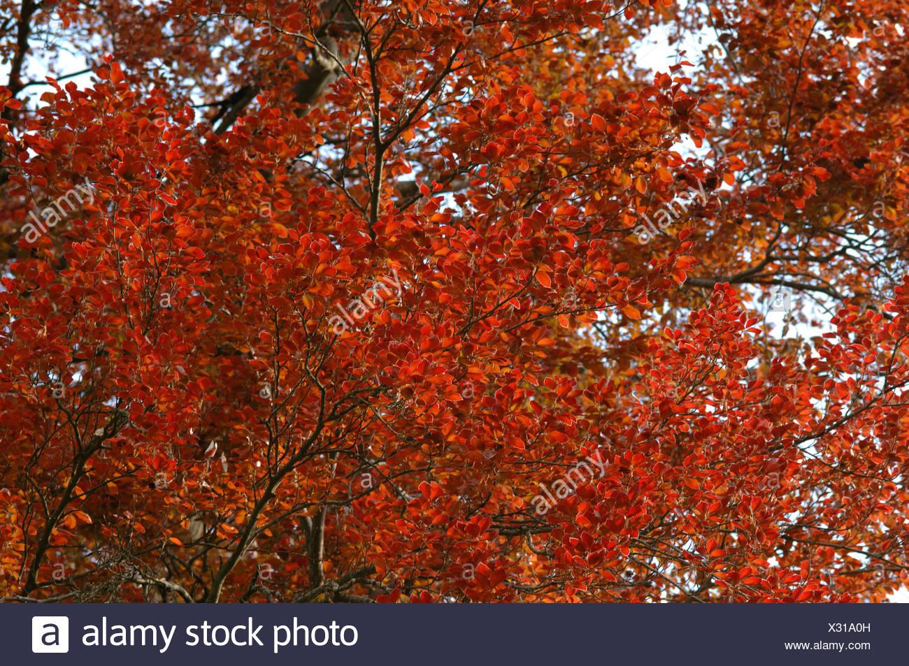 copper beech (Fagus sylvatica var. purpurea, Fagus sylvatica 'Atropunicea', Fagus sylvatica Atropunicea), shooting of teh leaves, Germany - Stock Image
