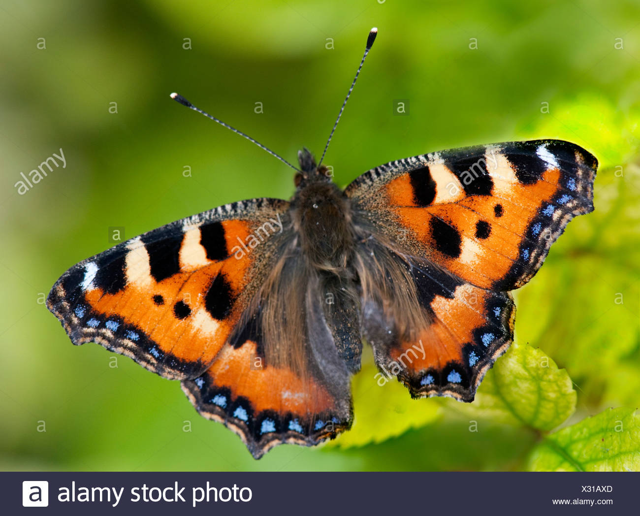 Small Tortoiseshell Butterfly Aglais urticae resting with wings open on leaves in garden - Stock Image