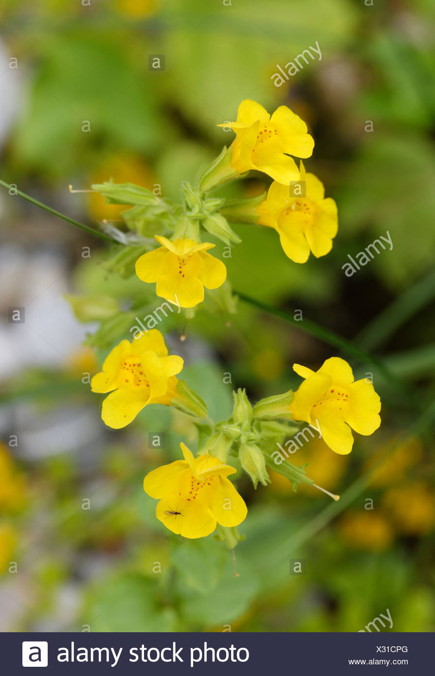 Germany Bavaria Yellow Monkey Flower Mimulus Guttatus Close Up