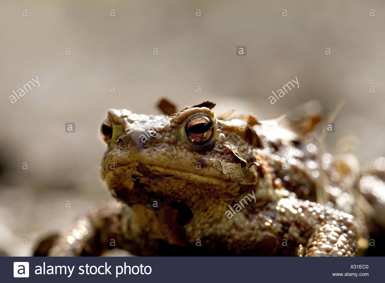 Kroete im Laub Stock Photo