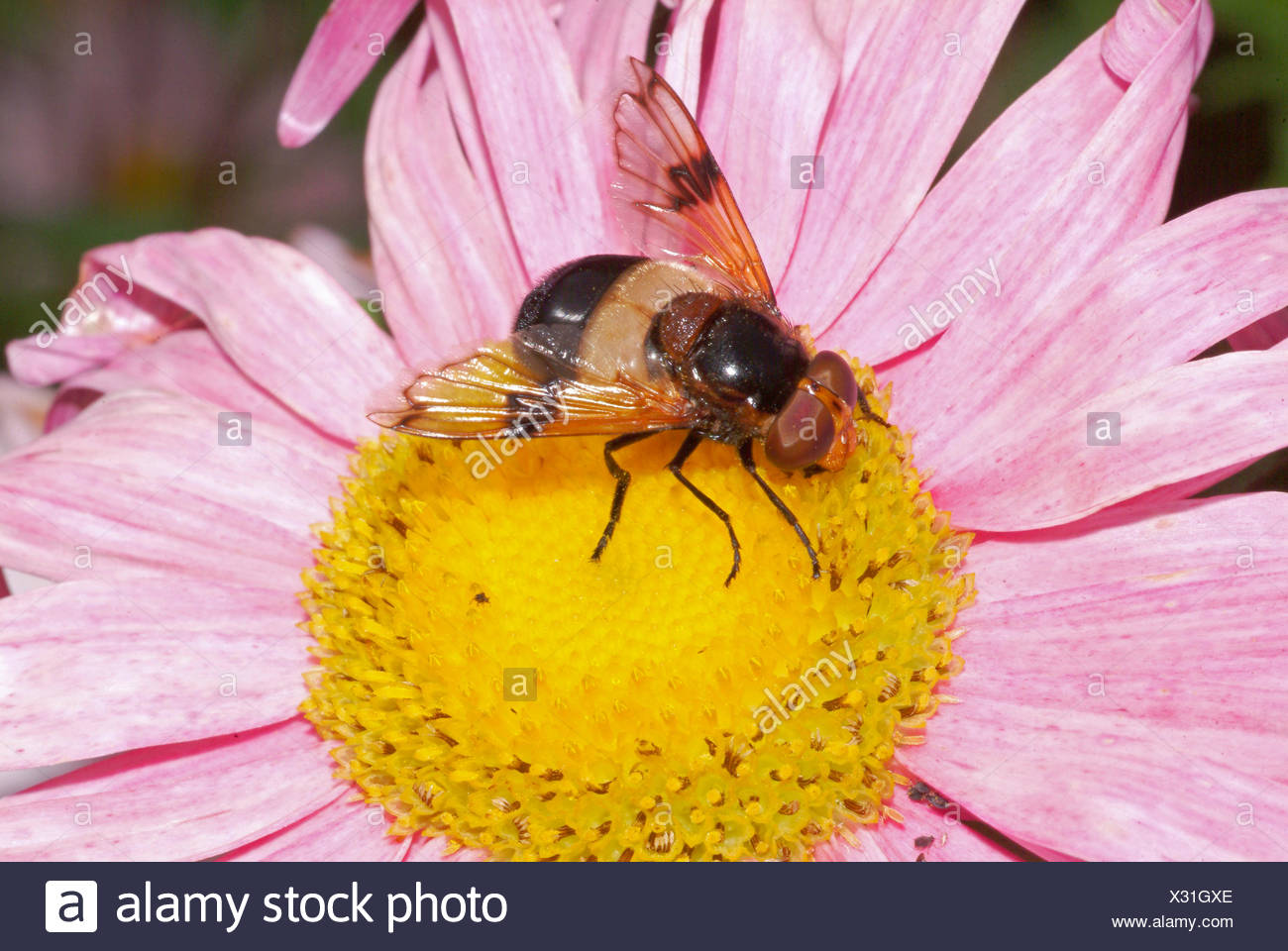 Pellucid Hoverfly, Pellucid Fly (Volucella pellucens), sitting on a blossom, GermanyStock Photo