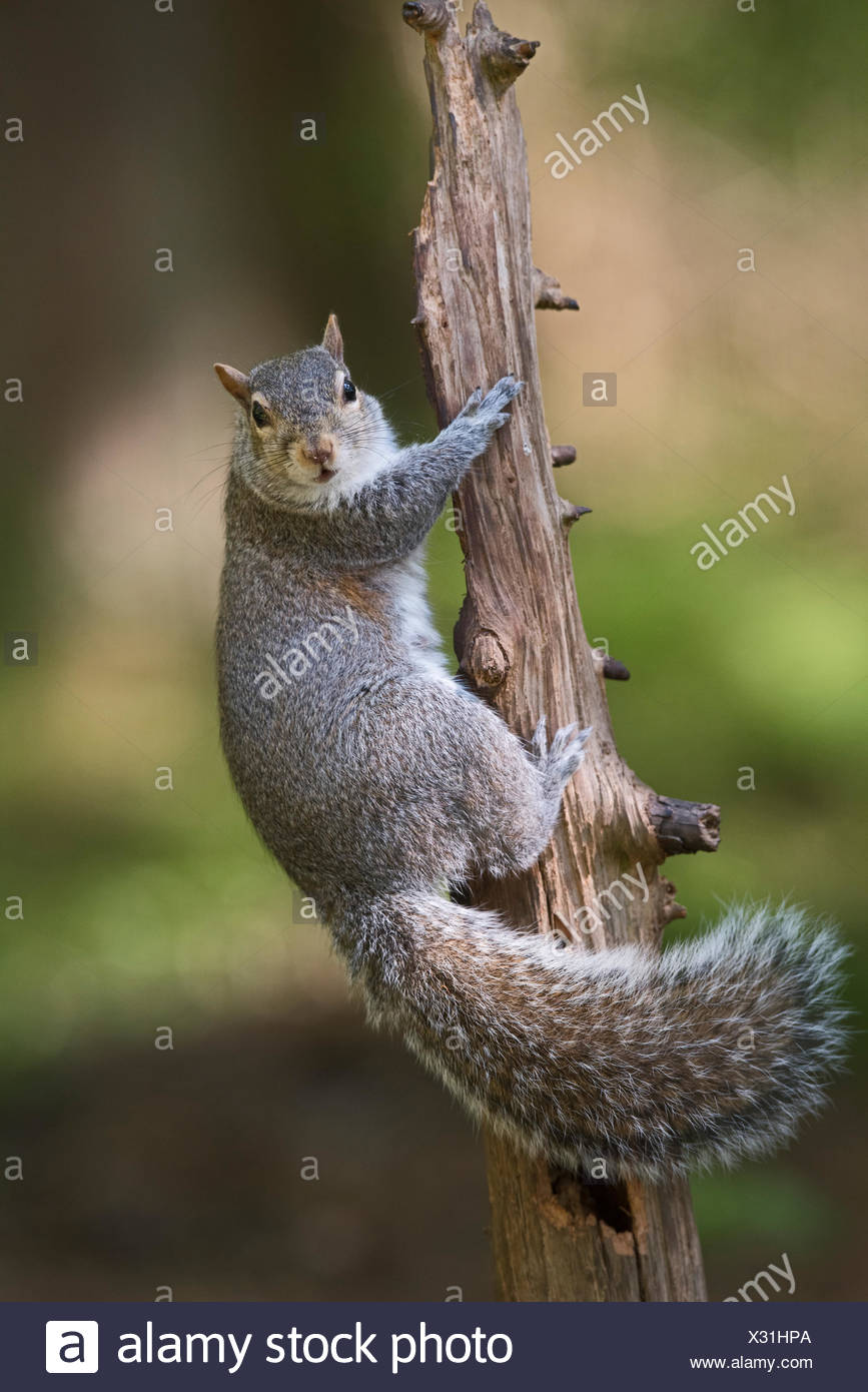 Grey (Eastern Gray) Squirrel Sciurus carolinensis in wood North Norfolk - Stock Image