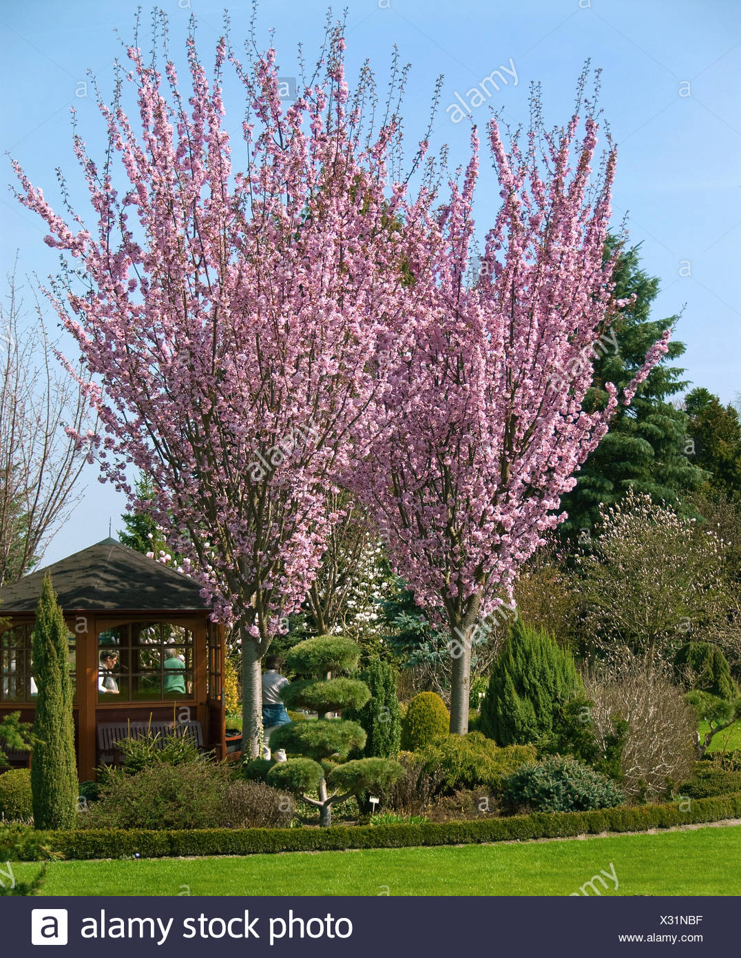 Sargent Cherry, Sargent's Cherry (Prunus sargentii), blooming Stock Photo