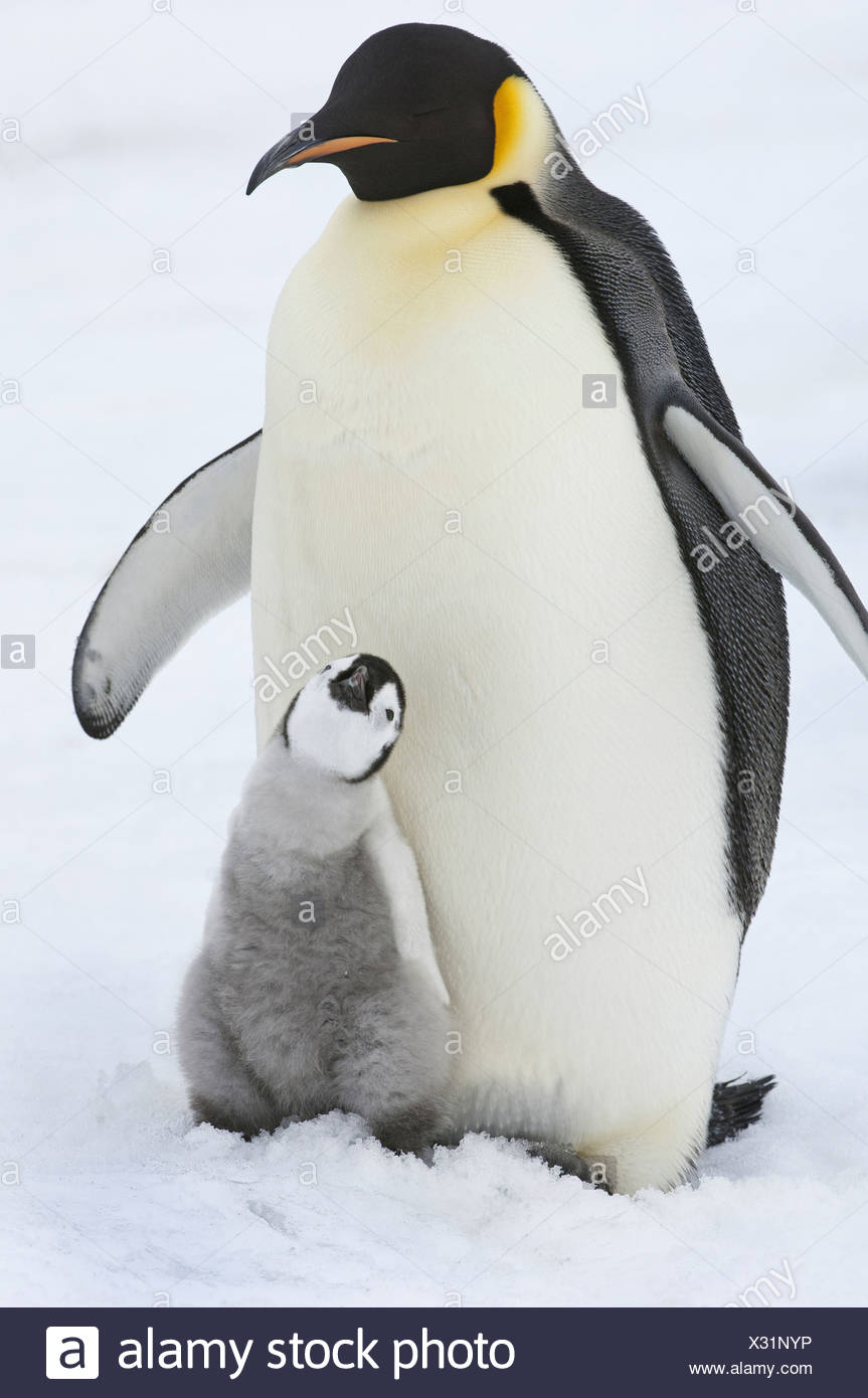 An adult Emperor penguin with a small chick nuzzling up and looking upwards - Stock Image