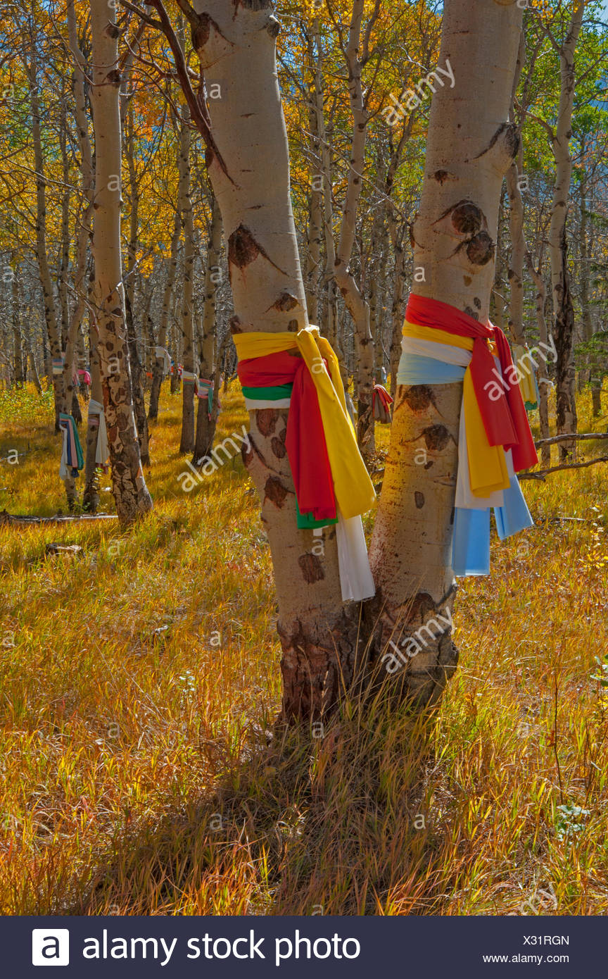 Native American prayer cloths adorn aspen trees at a sacred site. - Stock Image