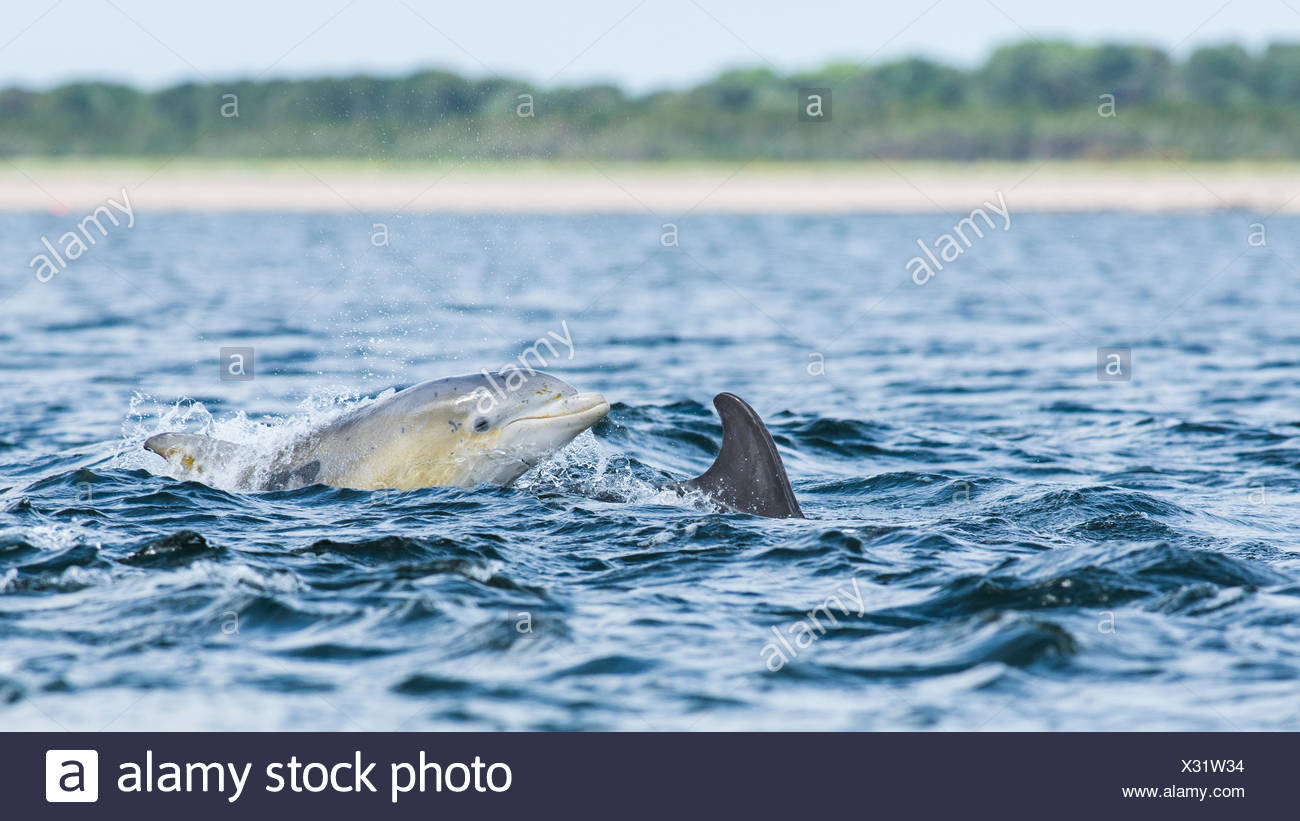 Common bottlenose dolphin (Tursiops truncatus) in bay, Chanonry Point, Moray Firth, Inverness, Scotland, United Kingdom - Stock Image