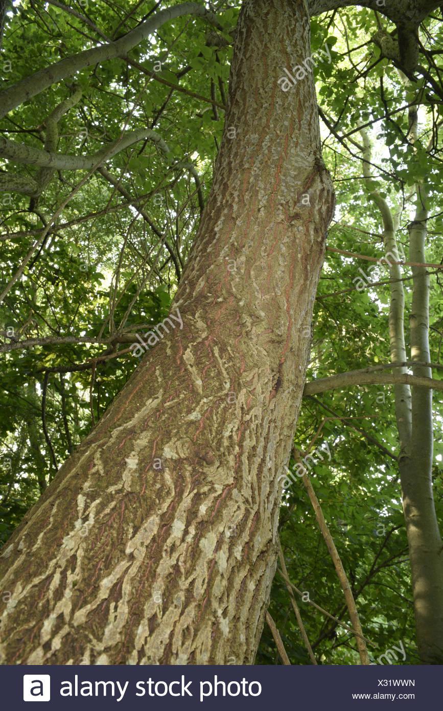 Goat Willow - Salix capraea - Stock Image