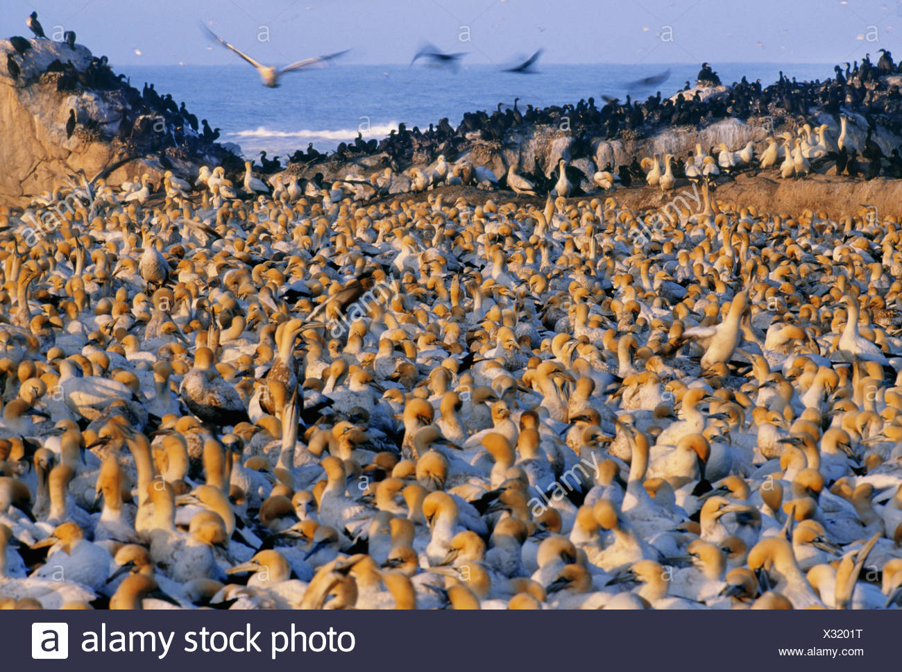 Lambert's Bay South Africa Cape gannet colony Morus capensis South Africa - Stock Image