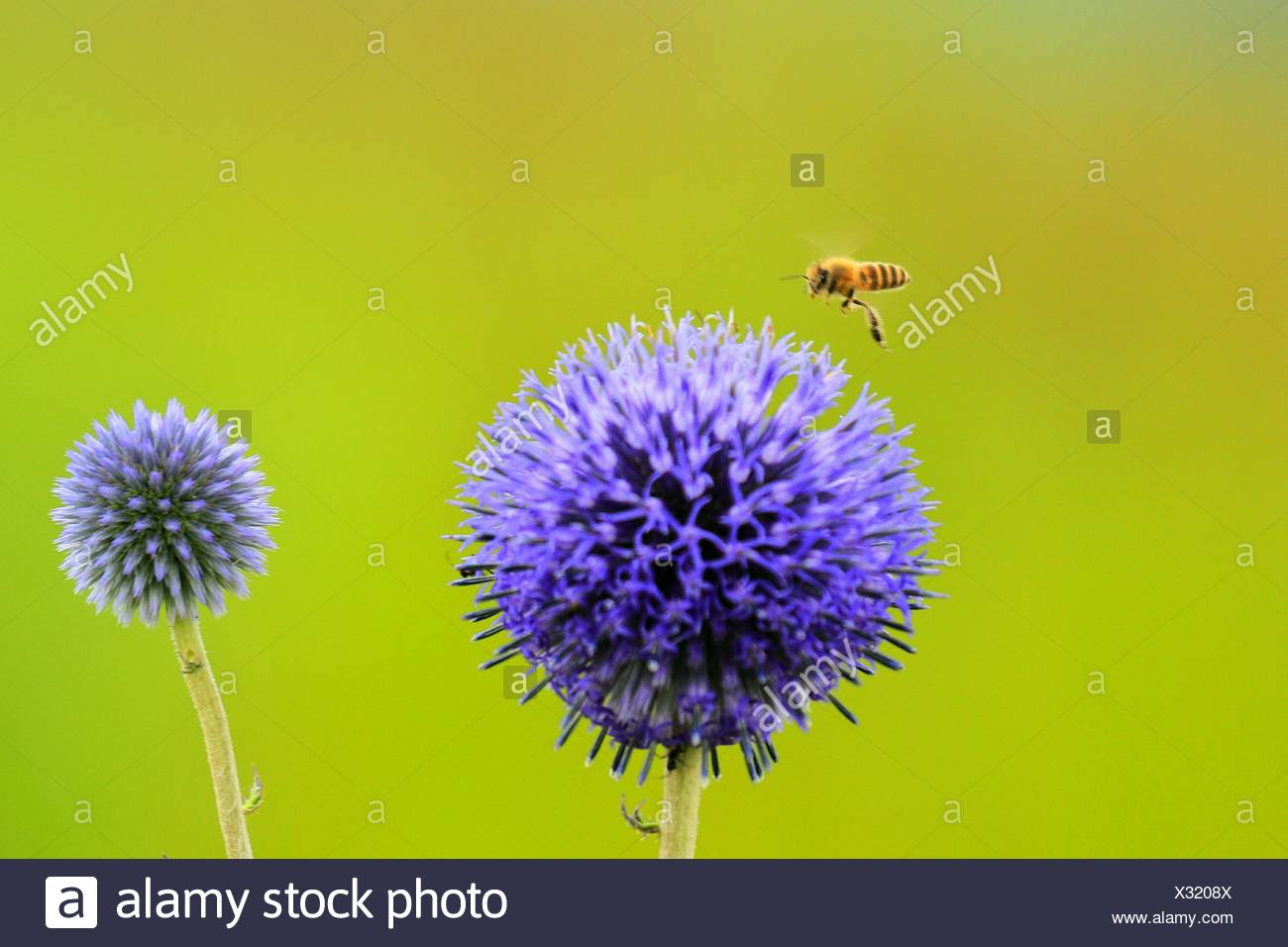 Close-Up Of Allium Flowers Blooming Outdoors - Stock Image