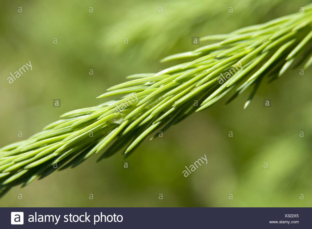 Conifer, branch, detail, instinct, - Stock Image