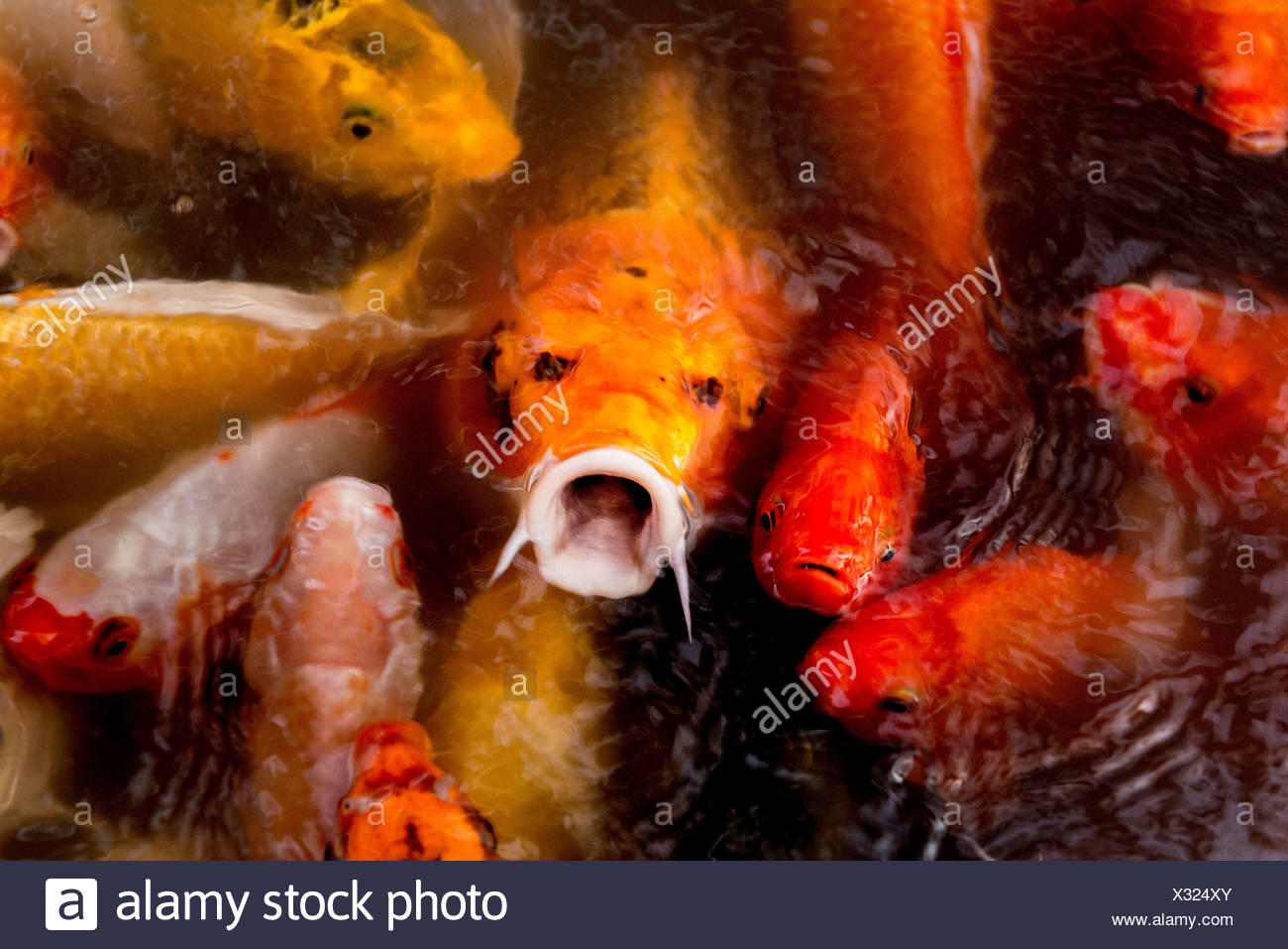 Close Up Colorful Koi Fish In Stock Photos & Close Up Colorful Koi ...