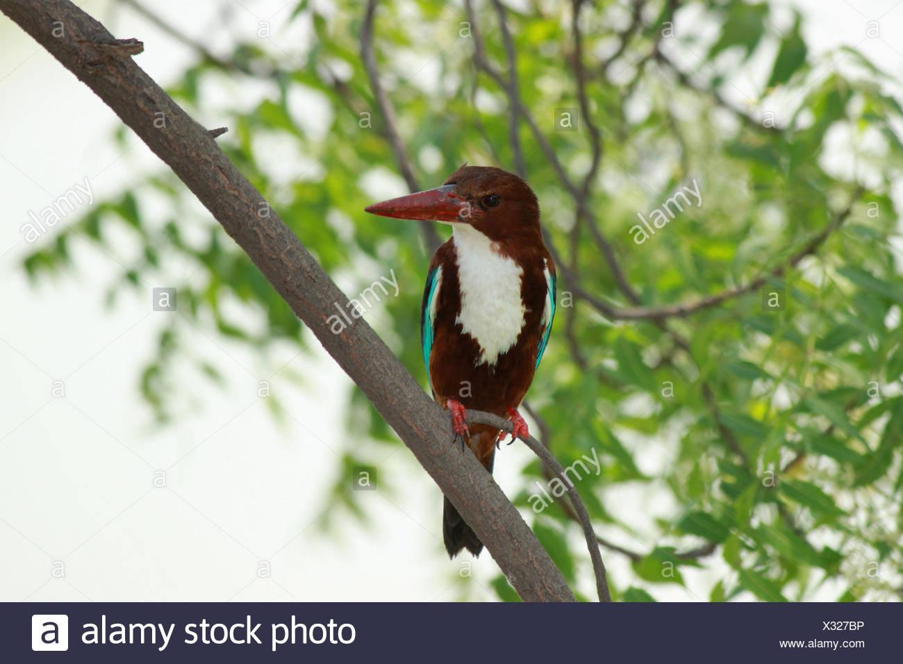 White-throated kingfisher, Halcyon smyrnensis, Maharashtra, India. - Stock Image