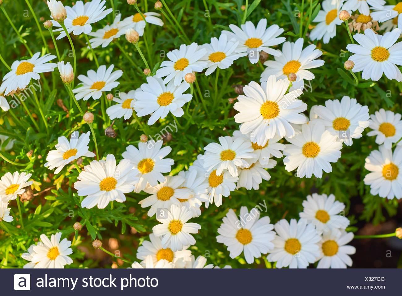 Shasta Daisy Leucanthemum x superbum. Stock Photo