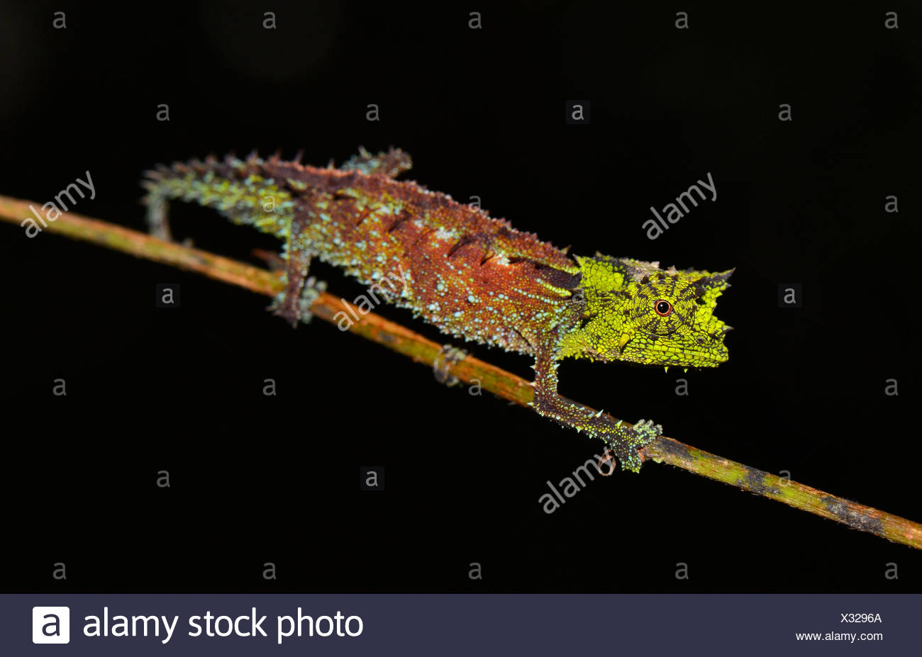 Male leaf chameleon (Brookesia vadoni), Marojejy National Park, Northeastern Madagascar - Stock Image