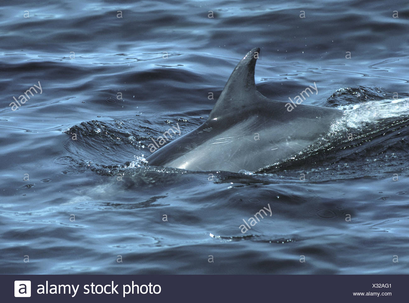 Bottle-nosed Dolphin - Tursiops truncatus - Stock Image