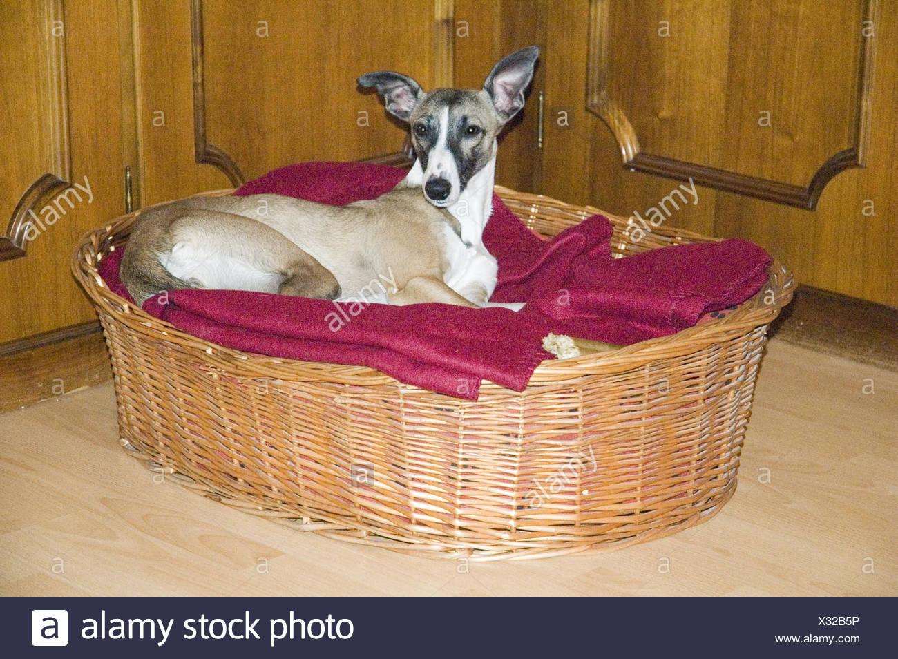 animal,pet,ears,dog,funny,greyhound,278,kurzhaar,whippet - Stock Image
