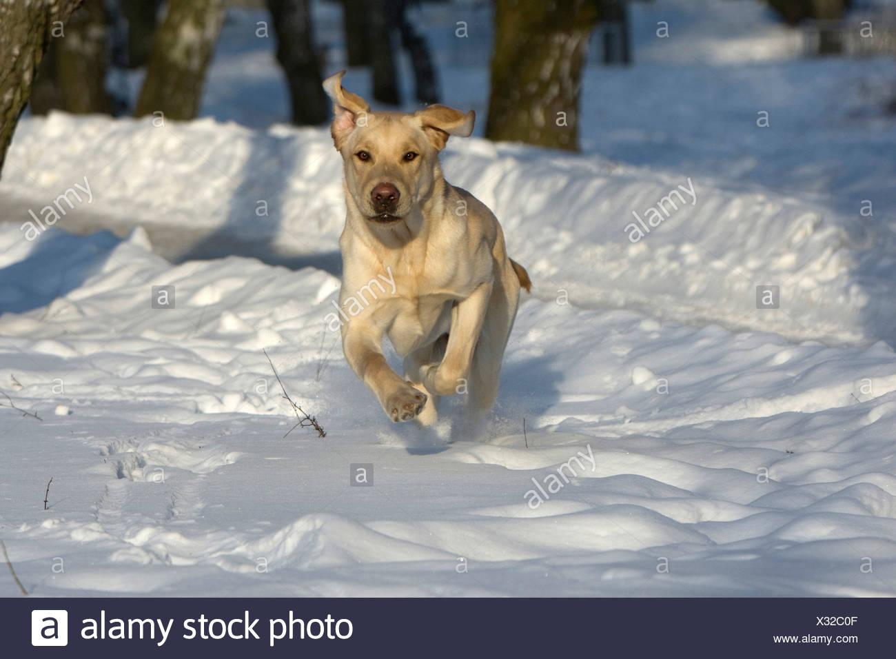 Labrador Retriever, Canis lupus familiaris, Feldberg, Feldberger Seenlandschaft, Mecklenburg-Vorpommern, Germany - Stock Image