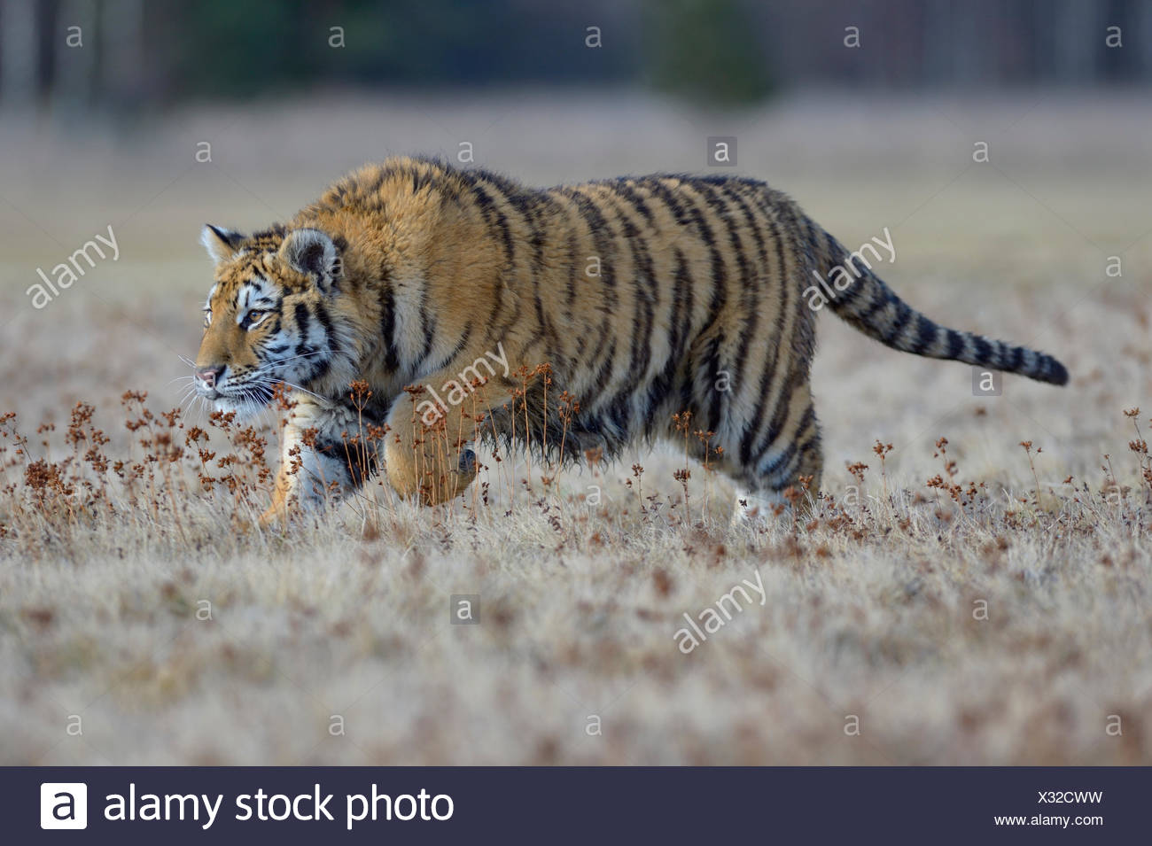 Siberian tiger (Panthera tigris altaica), jumping in a nearby meadow, captive, Moravia, Czech Republic - Stock Image