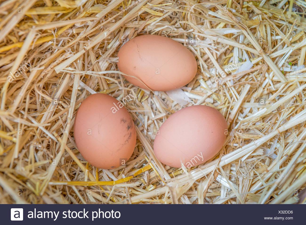 Freshly laid eggs in an egg box Stock Photo