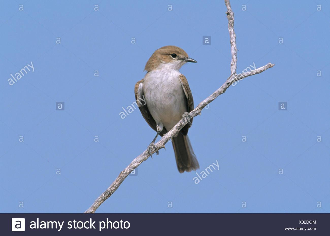 Marico Flycatcher (Melaenornis mariquensis). Etosha National Park. Namibia - Stock Image