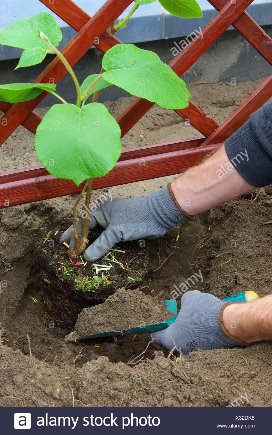 kiwipflanze plants - planting a kiwi plant 03 - Stock Image