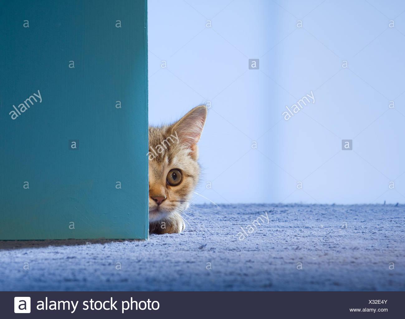 British Shorthair cat - kitten lying behind door & British Shorthair cat - kitten lying behind door Stock Photo ...