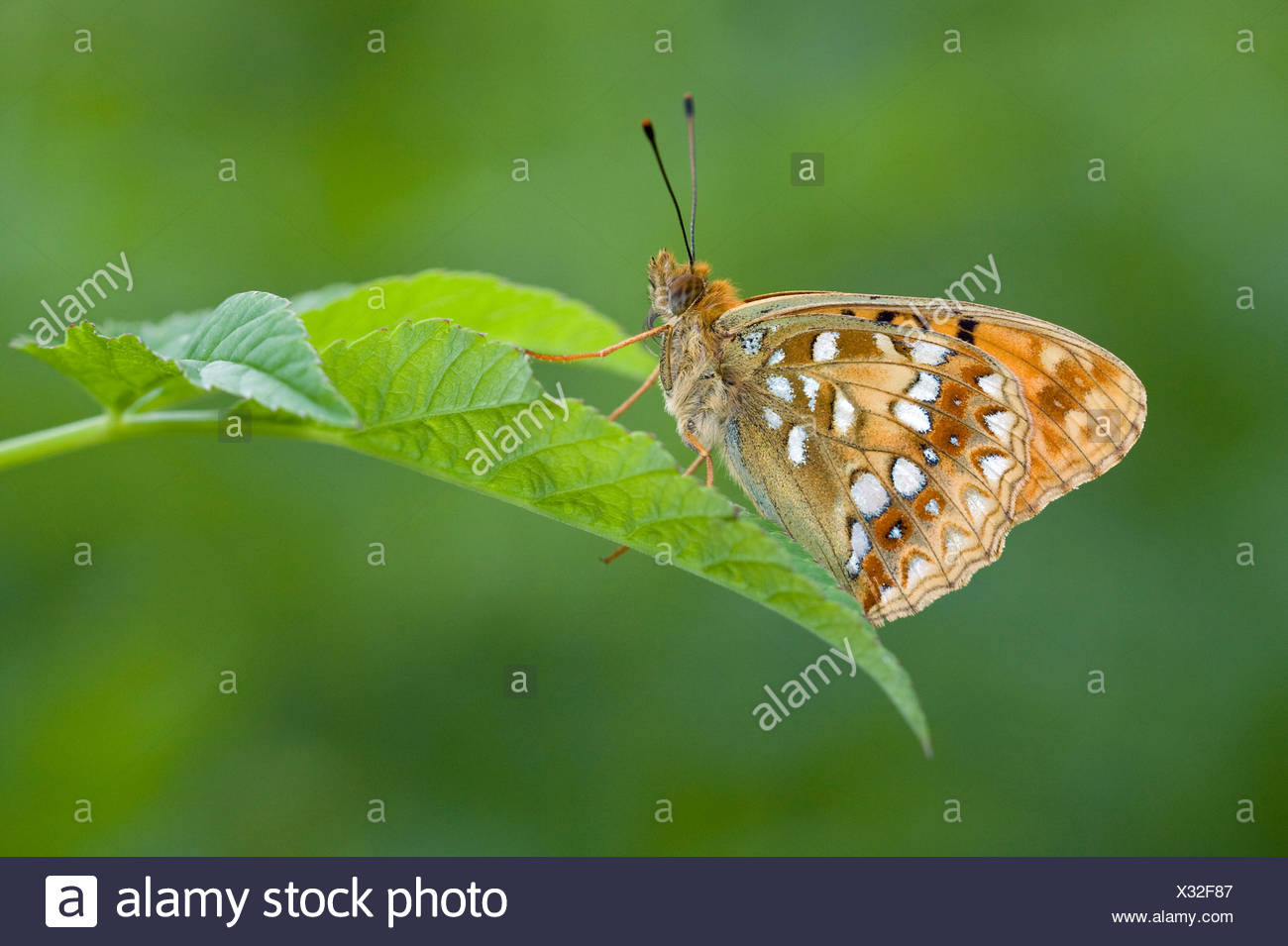 bosrandparelmoervlinder; High brown fritillary - Stock Image