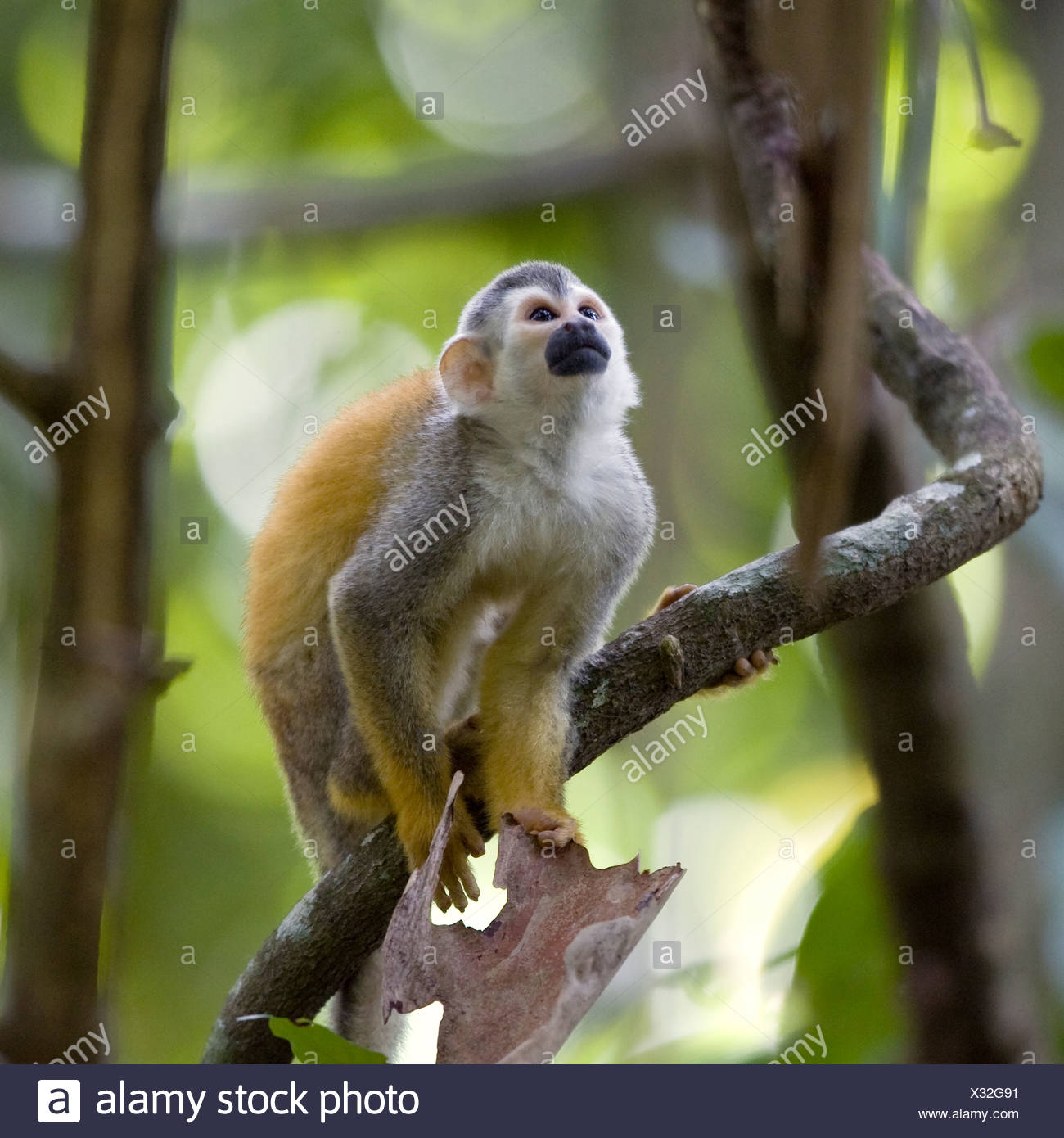 Red-backed squirrel monkey, Costa Rica. - Stock Image