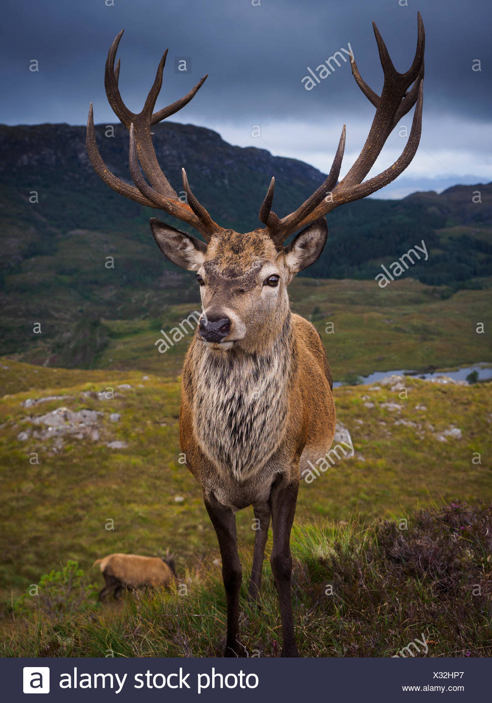 The deer population at Reraig Forest are fed by gamekeepers to spur antler growth. Stock Photo