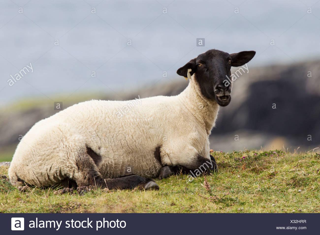 Sheep, Beara Peninsula, Cork, Ireland, Europe - Stock Image