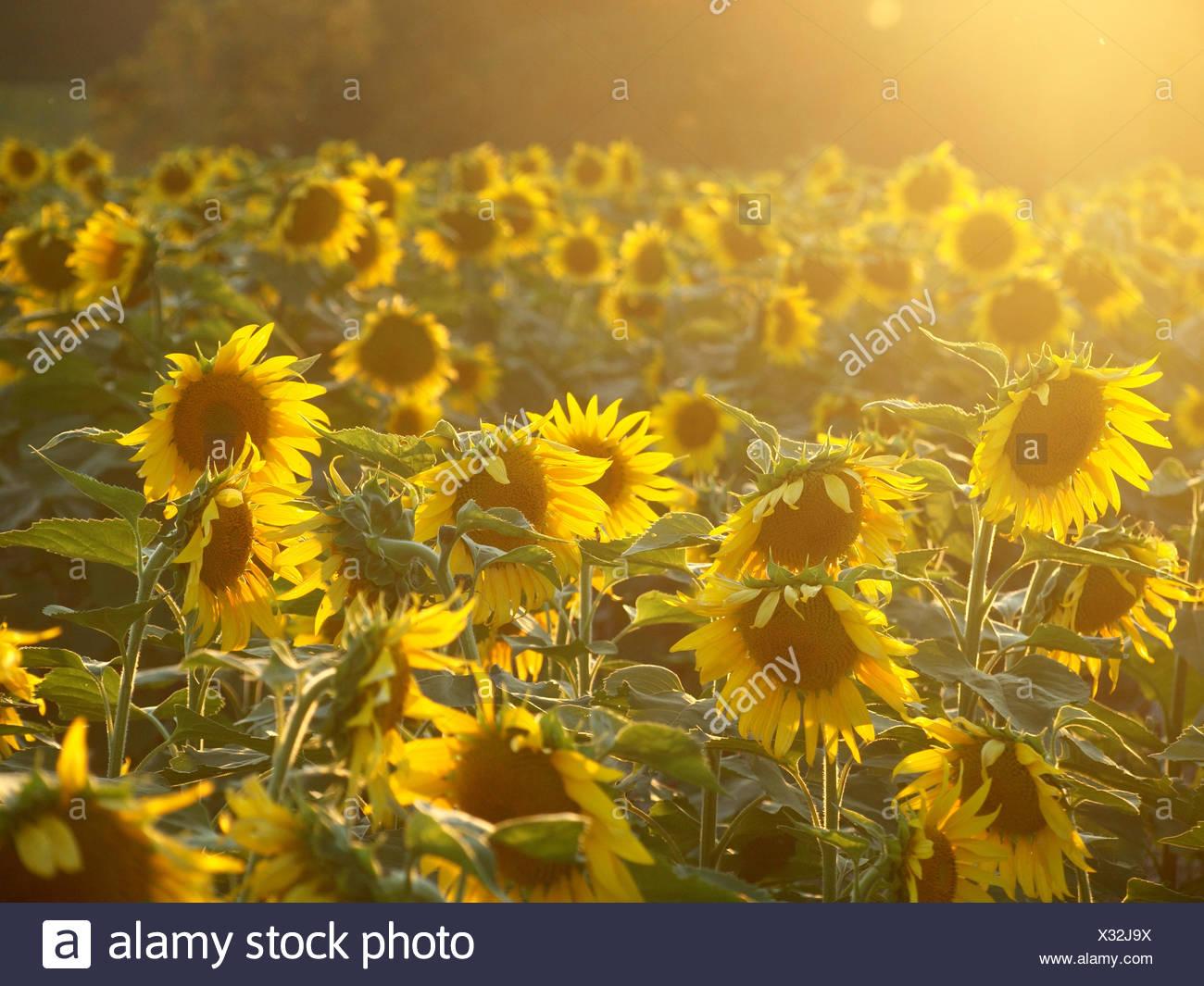 Field of sunflowers, North Carolina, America, USA - Stock Image