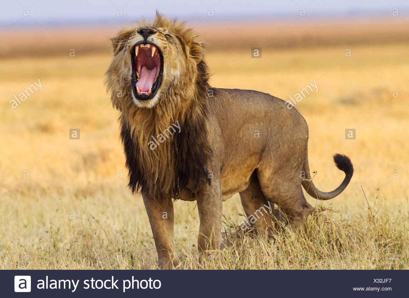 Lion (Panthera leo), male, standing and yawning, Savuti, Chobe National Park, Botswana - Stock Image