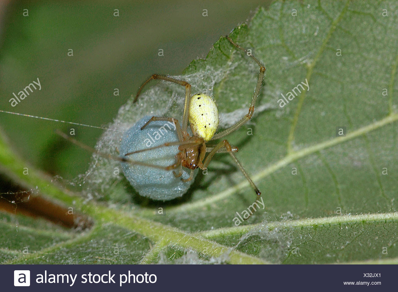 comb-footed spider with egg cocoon / Enoplognatha ovata - Stock Image