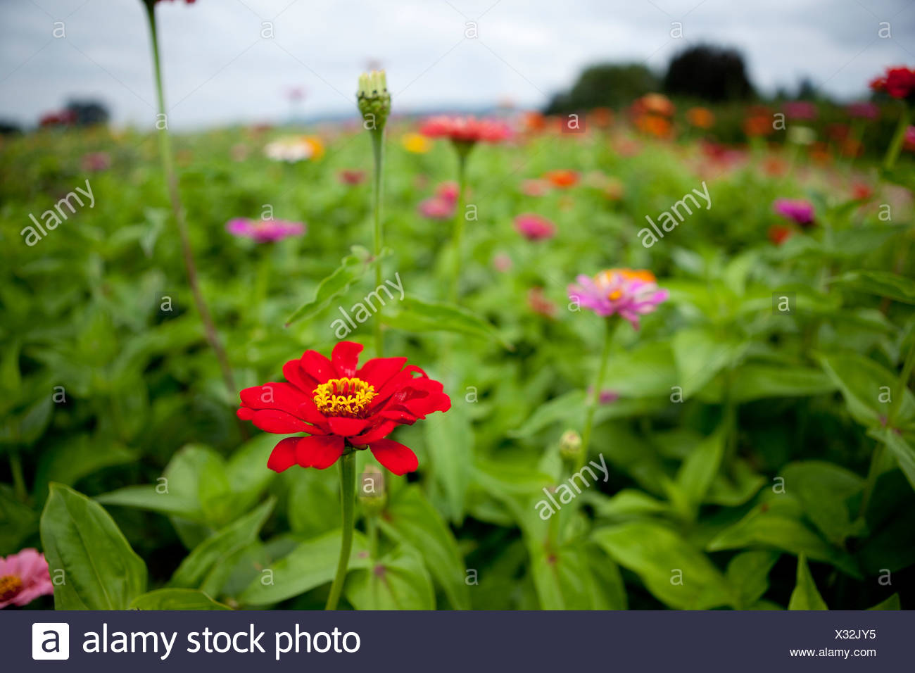 U-pic flowers at a local farm. - Stock Image