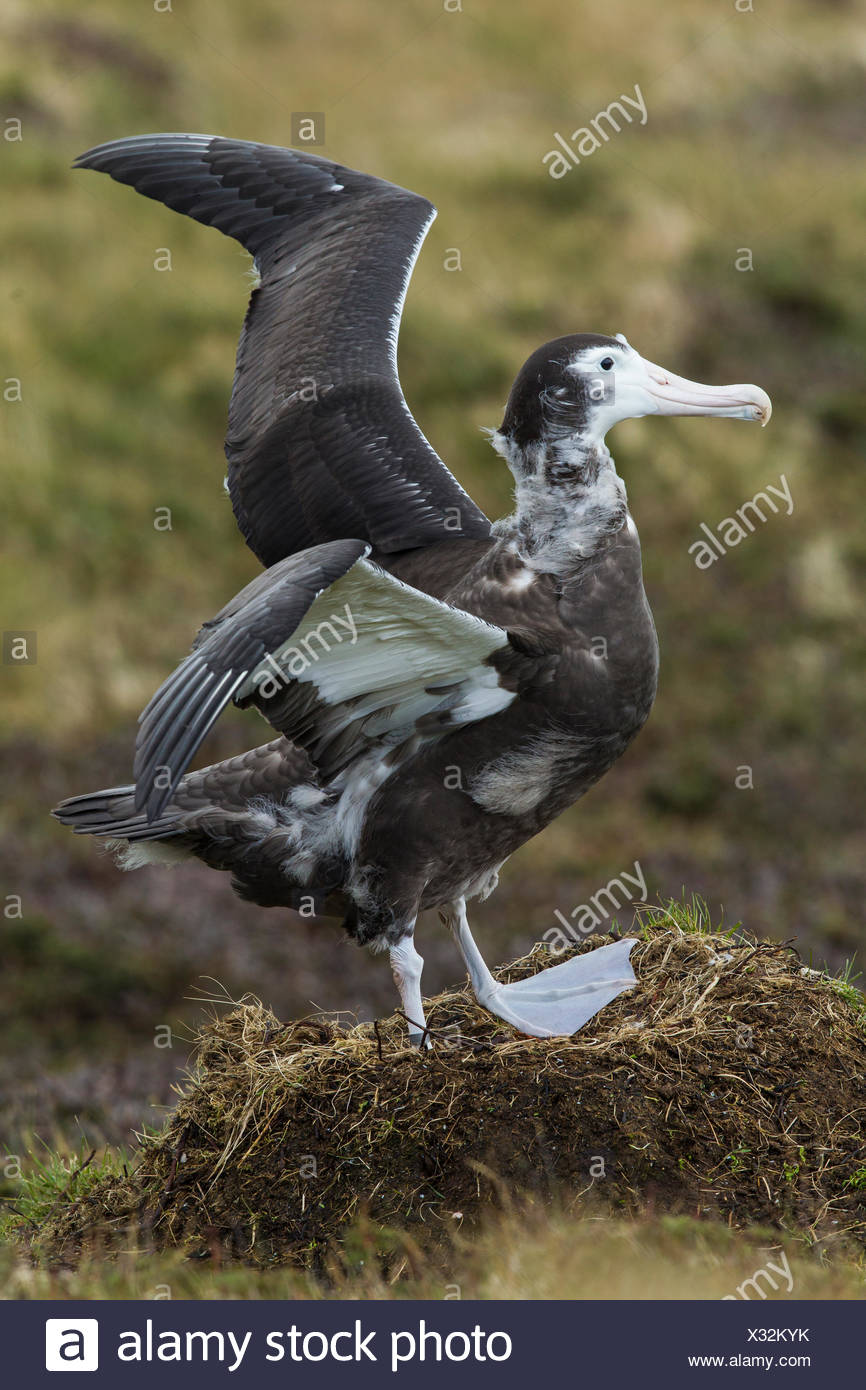 Tsap of a soldier with a beak and into the nest