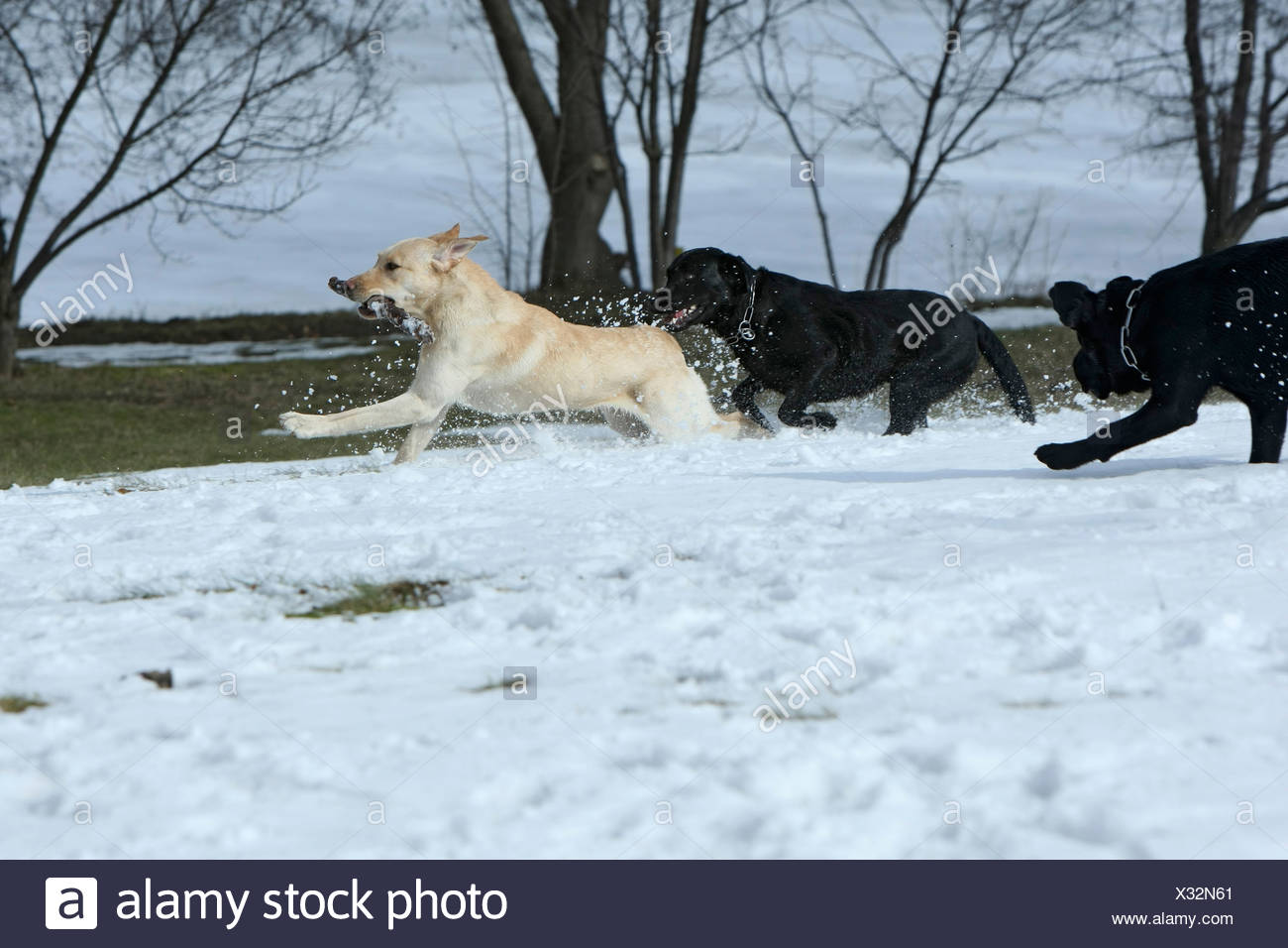 Playing dogs, Canis lupus familiaris, Feldberg, Feldberger Seenlandschaft, Mecklenburg-Vorpommern, Germany - Stock Image