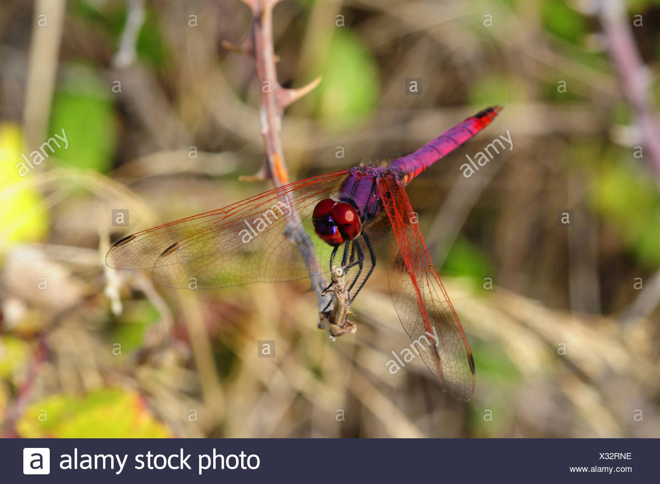 Scarlet Dragonfly, Crocothemis erythraea, male Stock Photo