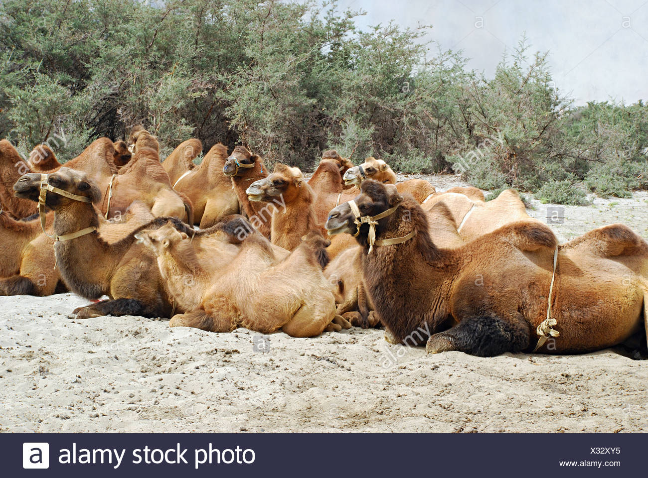Shaggy Bactrian (two- humped) camels which are shorter and stouter. Their humps are plump and pliable and collapse in winter whe - Stock Image