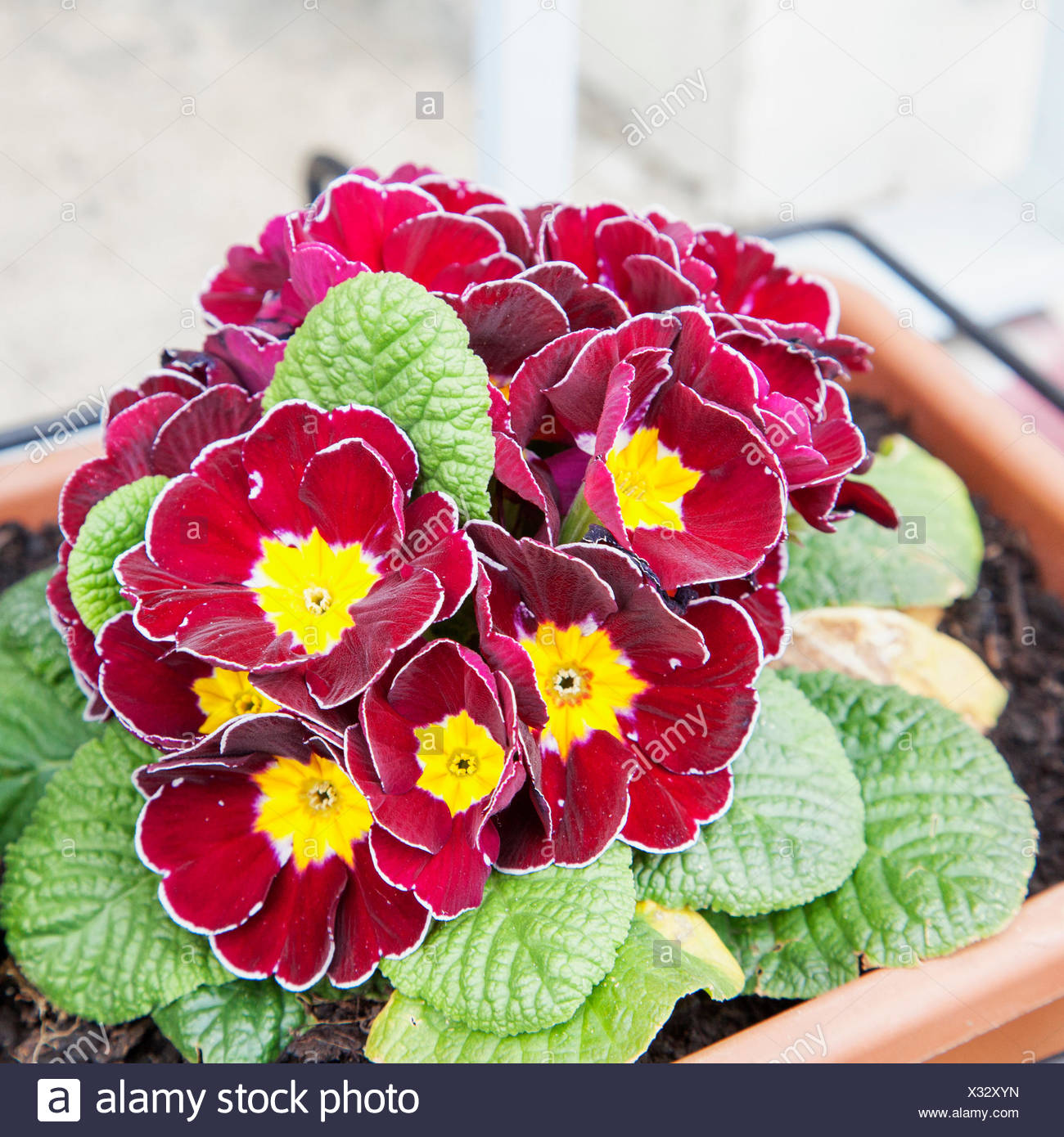 Red violets in bunch Stock Photo - Alamy