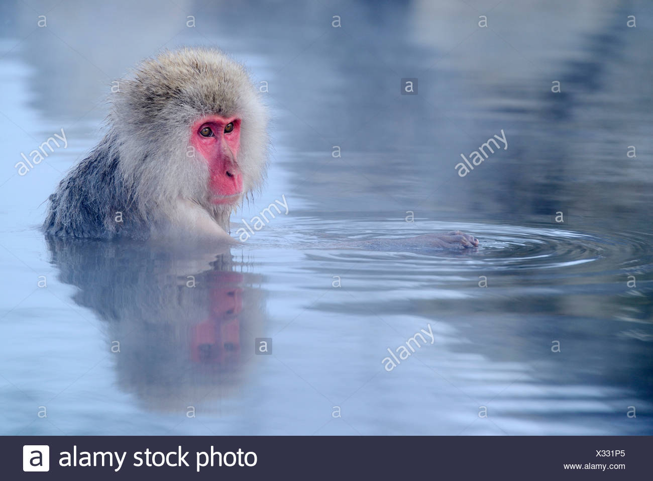 Japanese Macaque or Snow Monkey (Macaca fuscata) taking a bath in a ...