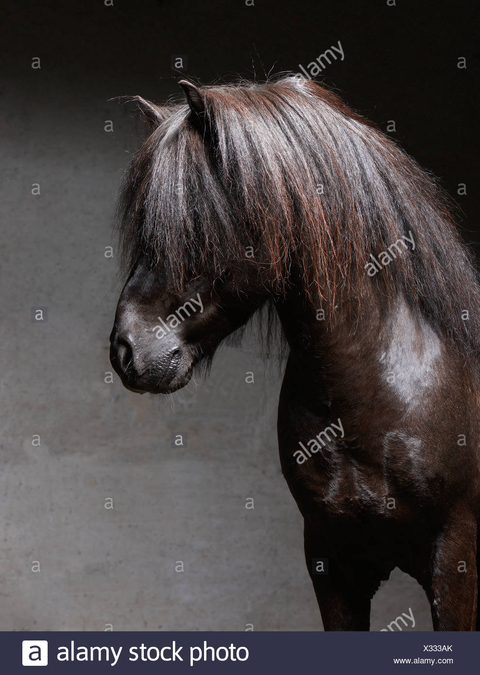 Pure Breed Icelandic Stallion, Iceland - Stock Image