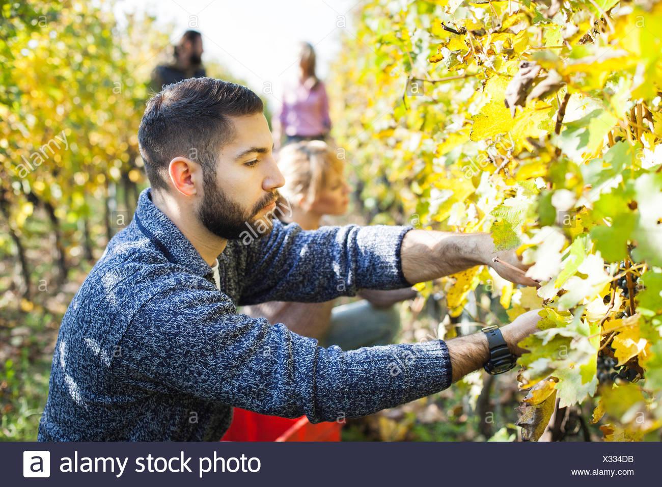 Friends harvesting grapes together in vineyard - Stock Image