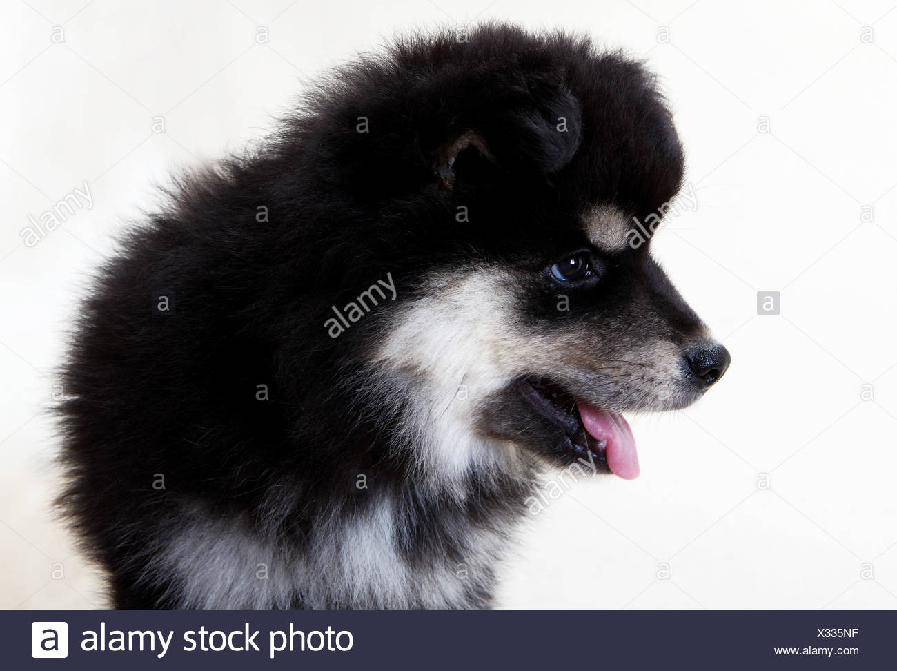 A Finnish Lapphund puppy - Stock Image