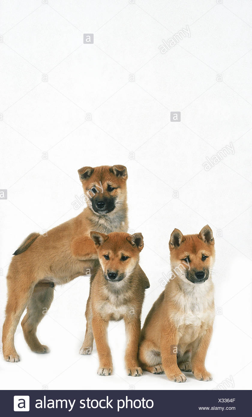 SHIBA INU DOG, PUPPIES AGAINST WHITE BACKGROUND - Stock Image