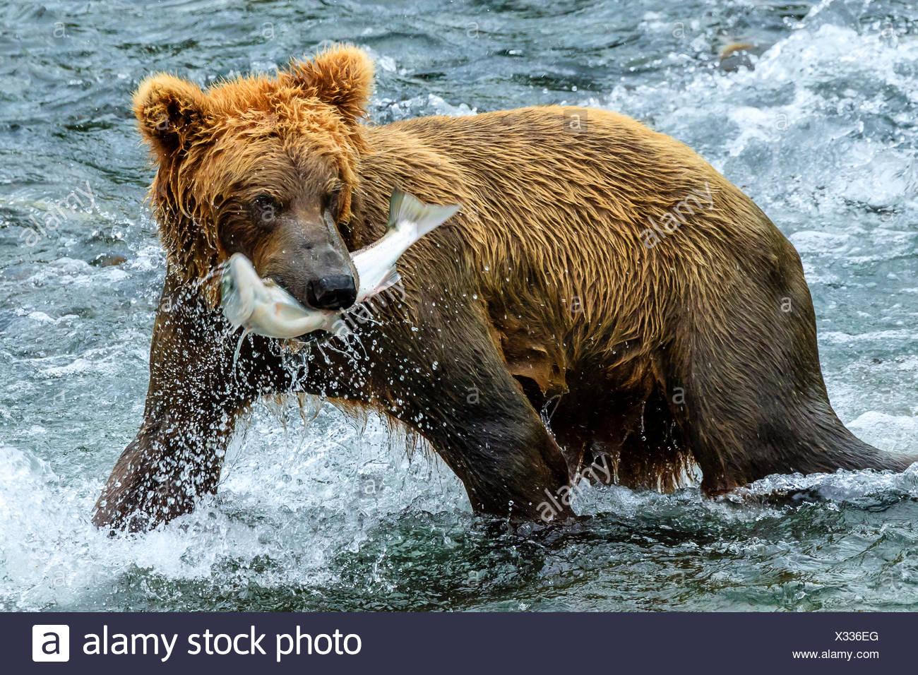Yearling brown bear, Ursus arctos, catches a sockeye salmon below Brooks Falls. - Stock Image