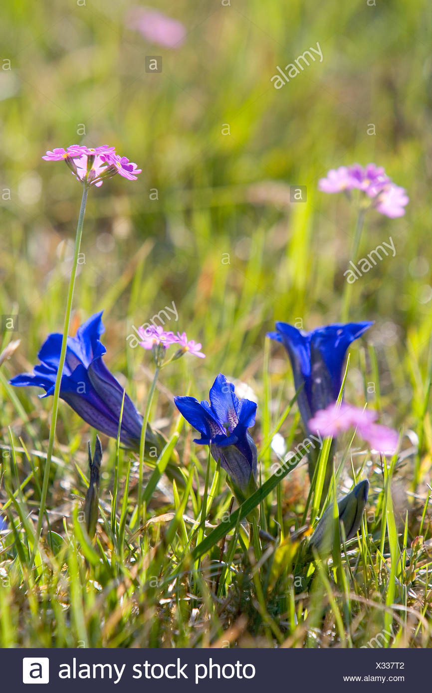 Mountain spring meadow with  gentians and flour primroses - Stock Image