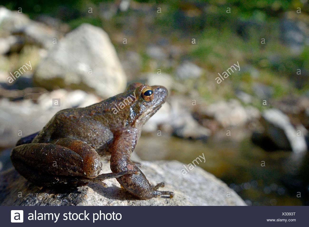 Italian stream frog (Rana italica), Italien stream frog sitting next to mountain creek at Aspromonte National Park, Italy, Calabrien, Ben Aspromonte National Park - Stock Image